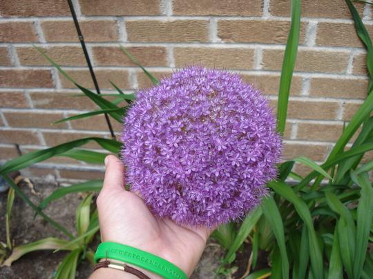 A garden flower photo (Allium acidoides)