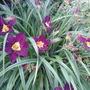 Hemerocallis bela lugosi (hemerocallis bella lugosa)