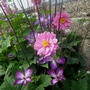 Clematis Venosa Vioacea and Anemone Bressingham Glow