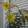 Lilium Golden Splendor flower goy
