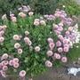 Erigeron glaucus Elstead Pink