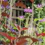 Veronicastrum virginicum f. roseum Pink Glow (Veronicastrum virginicum f. roseum 'Pink Glow')