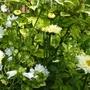 Leucanthemum, Musk Mallow and Syringa emodi (Leucanthemum)