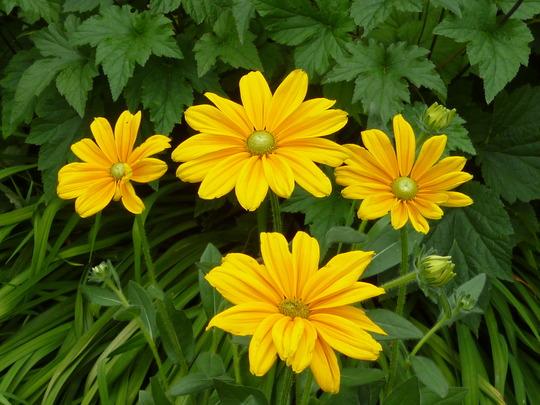 Rudbeckia hirta 'Irish Spring' (Rudbeckia hirta 'Irish Spring')