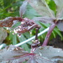 Cryptotaenia japonica atropurpurea (Cryptotaenia japonica atropurpurea)