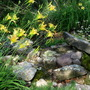 Rushing silent Brook Lilies