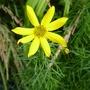 Coreopsis_grandiflora_2013