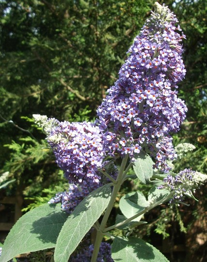 Buddleja davidii 'Foxtail' this one is a cutting taken 3 years ago from my larger one and is now a large showy bush (Buddleja davidii (Butterfly bush))