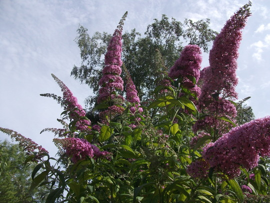 Buddleja davidii 'Pink delight' very tall reaches well over 10ft every year despite being heavily cut back after flowering. (Buddleja davidii (Butterfly bush))