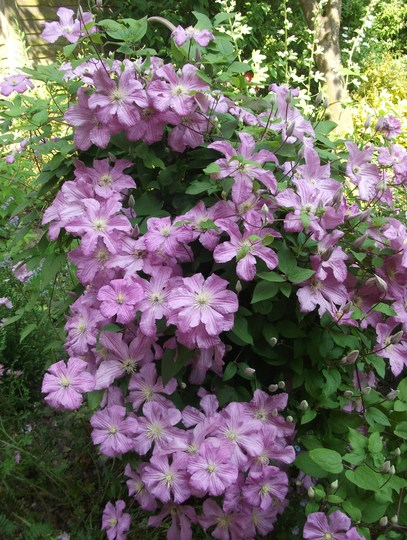 Clematis 'Comtesse de Bouchaud'. I can never resist take a photo of this one. It has to have Epsom salts 3 times during the growing season or it goes very brown and spotted.