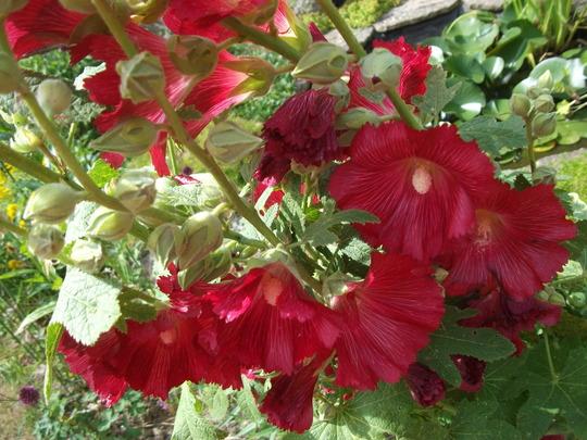 Hollyhock alcea rosea old barnyard Red (Hollyhock alcea rosea old barnyard Red)