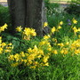 Yellow day lilies taking over from the fading irises this week.
