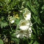 Hollyhock Alcea rosea 'Halo White' - this one is a very white white. (Hollyhock 'Halo White' Alcea rosea,)