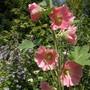 Hollyhock_alcea_rosa_pink