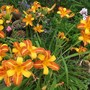 Hemerocallis Daylily 'Frans Hals' (Hemerocallis)