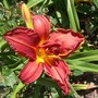 Hemerocallis_daylily_double_firecracker