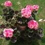 Planter of dark leaved Geraniums 'Salmon Pink'