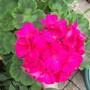 Geranium 'Violet'