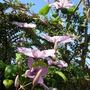 Clematis Hagley Hybrid (Clematis jackmanii)