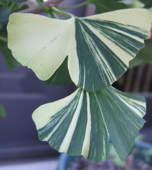 Gingko biloba 'Variegata' (Ginkgo biloba (Maidenhair tree))
