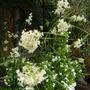 Luzula nivea (Luzula nivea (Snowy woodrush))