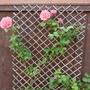 Rosa unamed