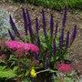 Salvia nemerosa (Sage)