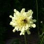 Giant scabious + bee (Cephalaria gigantea)