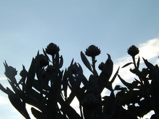 Cardoon in silhouette (Cynar cardunculus)