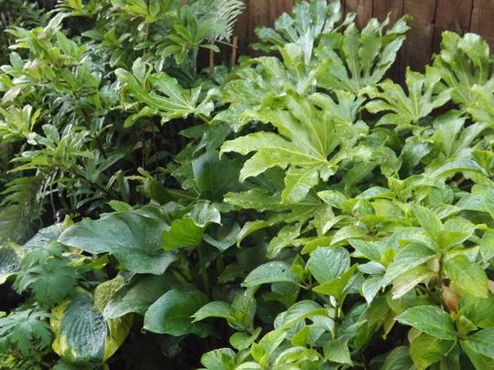 Fatsia japonica, Zantedeschia and Hosta Frances Williams (Fatsia japonica)