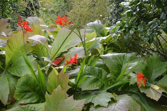 Rodgersia and Crocosmia Lucifer (Rodgersia podophylla (Rodgersia) and Crocosmia Lucifer)