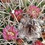 Mammillaria hidalgensis