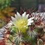 Mammillaria_microhelia