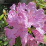 "Rhododendron ""English Pink"" (Rhododendron racemosum)"