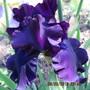 Iris Midnight Revelry