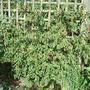 Abutilon megapotanicum (Abutilon megapotamicum)