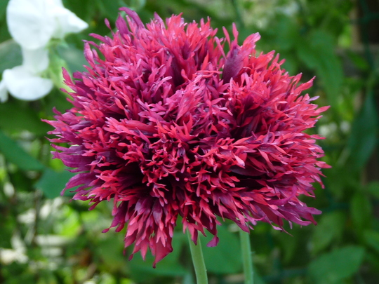 Another fab Poppy (Papaver somniferum (Opium poppy))