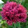 Another fab Poppy (Papaver somniferum (Opium poppy))