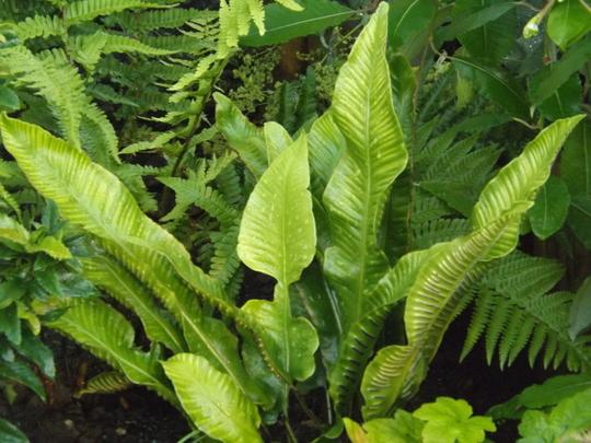 Asplenium Scolopendrium (Asplenium scolopendrium 'undulata')