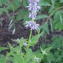 Agastache_blue_fortune_2013
