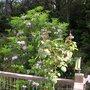 Wild Rhodie  (Wild Rhododendron)
