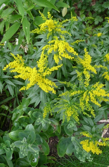 Solidago 'Golden Baby' - 2013 (Solidago 'Golden Baby')