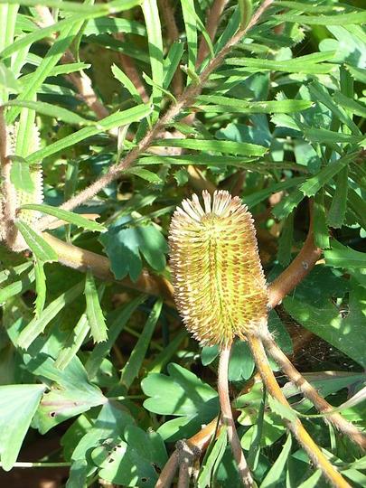 Banksia marginata 1 (Banksia marginata)