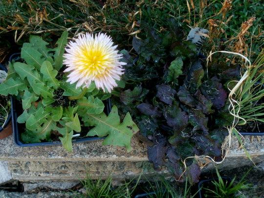 pink Dandelion (taraxacum pseudoroseum)