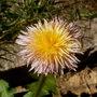 pink dandelion closer (taraxacum pseudoroseum)