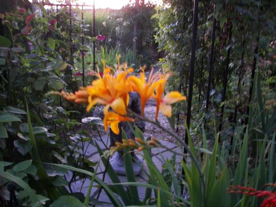 "Crocosmia ""Rowallane Yellow"" (Crocosmia x crocosmiiflora (Montbretia))"