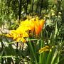 Crocosmia Rowallane Yellow (Crocosmia x crocosmiiflora (Montbretia))