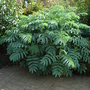 Melianthus major (Melianthus major)