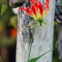 The rewards of patience (Gloriosa superba)