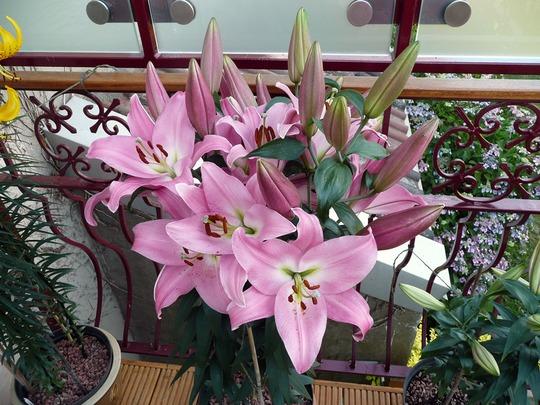 Lilies 4 001